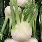 Picture of FENNEL
