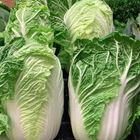 Picture of CHINESE CABBAGE (WOMBOK)